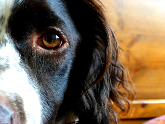 L'œil du chien